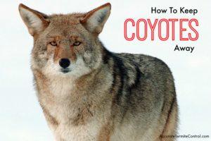 keep coyotes away