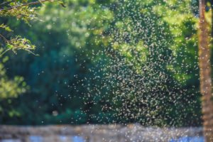Gnat Swarms, King of Pesky Pests - Accurate